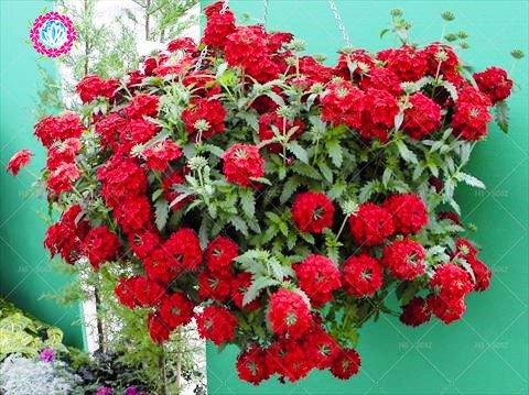 graines 100pcs Verveine seeds.Verbena HORTENSIS, graines de bonsaï rares fleurs Hanging plantes balcon intérieur fleurs pour le jardin de la maison 5