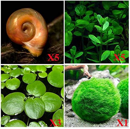 Aquatic Discounts - 5 Ramshorn Snails (Feeder/Cleaner), 1/6-1/3 inch - Plus 3 Kinds of Live Aquarium Plants - Bacopa (Background), Moss Ball (Bottom), Amazon Fr o g bit (Surface)! Betta Betta Betta