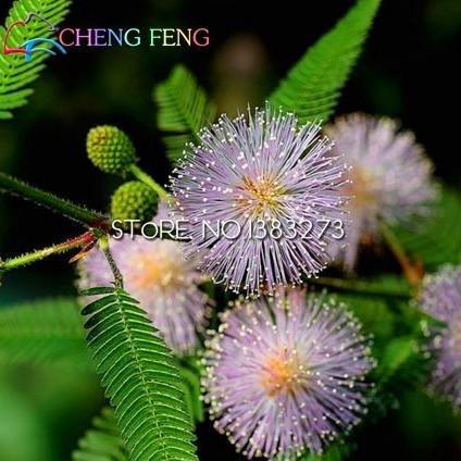 30 graines / plantes à feuillage Pack semences Balcon sensitive Graines pot Prédire Earthquakes Fun Bashful Semences à gazon Mini Bonsai ***