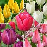 50x Tulipa Mix | 5x10er Set farbenfrohe Tulpen Zwiebeln | Blumenzwiebeln Ø 11-12cm