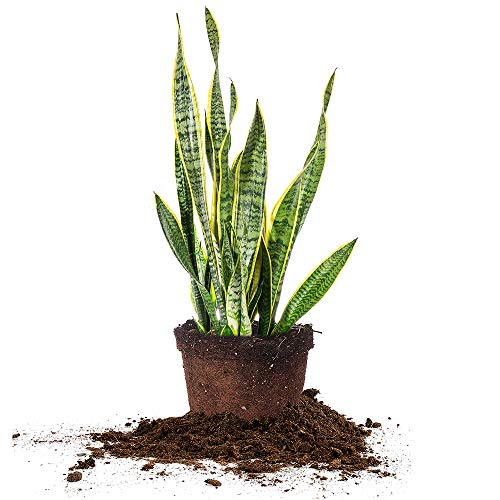 PERFECT PLANTS Snake Plant Sansevieria Trifasciata Laurentii 24in Tall | Easy Care Houseplant | Perfect for Low to Bright Light Conditions, 10in Grower's Pot