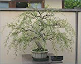 Bonsai Tree Dragon Willow - Thick Trunk Cutting - Indoor/Outdoor Live Bonsai Tree - Old Mature Look Fast - Ships from Iowa, USA