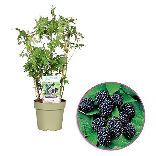 Brombeere - am Spalier - Höhe 60-70 cm - Topfdurchmesser: 21 cm - Rubus fruticosus 'Thornless Evergreen' - 100 Procent FRUIT