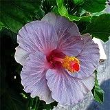 Semillas 100pcs gigante hibisco (Hibiscus moscheutos) colores se mezclan semillas perenne Cottonrose Hibiscus semillas de plantas raras Bonsai