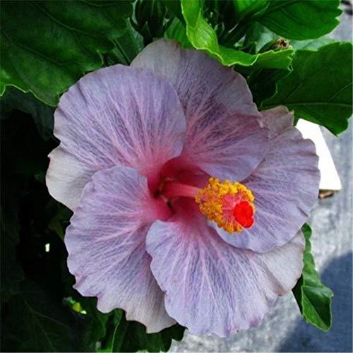 100pcs géant Hibiscus Graines de fleurs (Hibiscus moscheutos) couleurs Mix vivace Cottonrose Graines d'hibiscus rares graines de plantes Bonsai