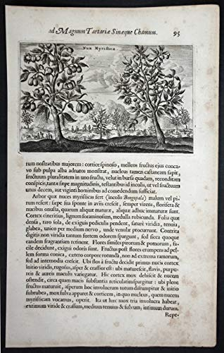 Nux Myristica. - Muskatnuß nutmeg China Chinese botany Botanik Asia Asien Kupferstich copper engraving antique print