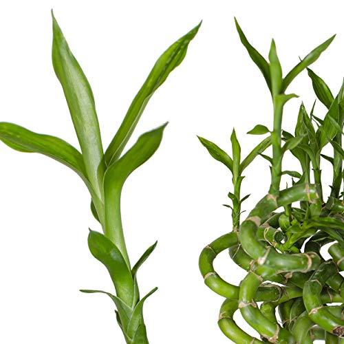 10x echter Lucky Bamboo - 100cm GEDREHT in verschiedenen Groessen - Gluecksbambus Zimmerbambus Zimmer Deko Bam Boo dracaena sanderiana Zimmerpflanze