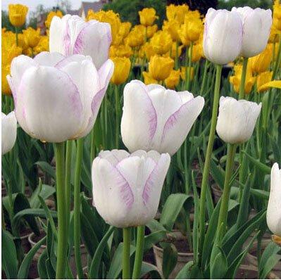Bord blanc pourpre exotiques Tulipe Graines de fleurs vivaces extérieur jardin Bonsai Plantes en pot Livraison gratuite 120 pcs / sac 16