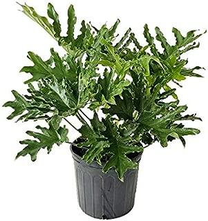 PlantVine Philodendron bipinnatifidum 'Hope', Split-Leaf Philodendron, Tree Philodendron - Large - 8-10 Inch Pot (3 Gallon), Live Indoor Plant