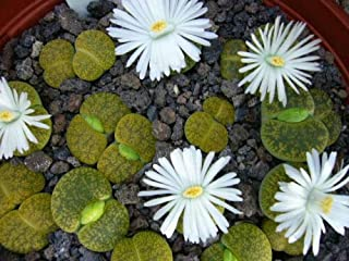 Lithops Lesliei V Albinica, Living Stone Rock Stone Cactus Cacti Seed 50 Seeds ecc002