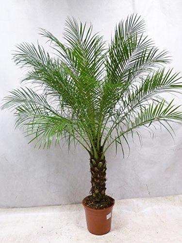 [Palmenlager] - Phoenix roebelenii Zwerg-Dattelpalme 170 cm / 50 cm Stamm/Zimmerpalme Palme