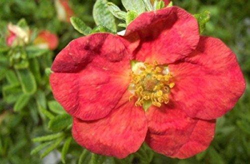 Potentilla fruticosa Red Ace -...