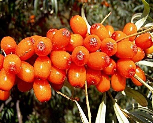 100 Hippophae rhamnoides Samen, Sanddorn, sea buckthorn, sehr hoher Vitamin C Gehalt