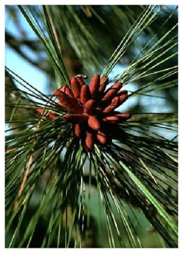 TROPICA - Goldkiefer (Pinus ponderosa) - 20 Samen