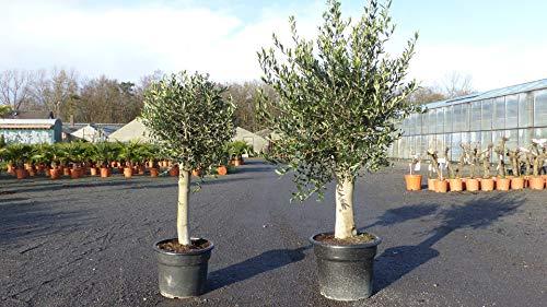 Olivenbaum Set 2 Stück 40 Jahre + 20 Jahre alt, beste Qualität, winterharte Olive