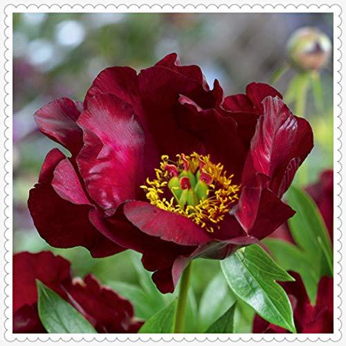 Peonías bulbo,Peonía rosa gran jardín de arbustos jardinería hermosas flores, que florecen en primavera, bonsai verde de regalo-20rizoma