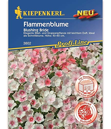 Flammenblume 'Blushing Bride',1 Portion