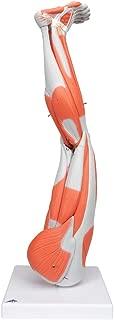 anatomy leg model