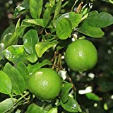 Key Lime Tree Seeds (Citrus aurantifolia) Packet of 5 Seeds
