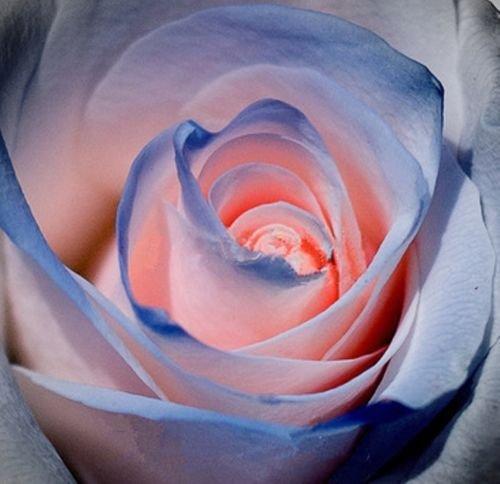 2016 nouvelles 100 pièces bleu et rose Rose Graines, couleur rare, riche en arômes, bricolage jardin