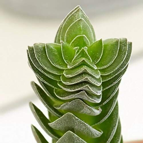 Buddha's Temple Crassula Live Succulent Indoor Outdoor Plant 2.5' Pot (3 Plants) by SUBAYA