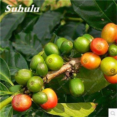 Graines grain de café, Arbuste café d'Arabie (Coffea arabica) plantes bio, Balcon Bonsaï Graines, des plantes pour jardin Accueil 10 Pcs 9