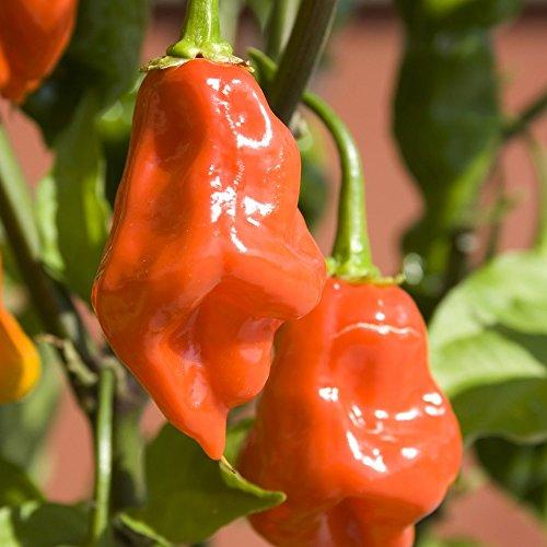 Samen für ca. 15 Pflanzen Habanero orange Chili – Klassischer, weit verbreiteter Chili