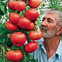 Rain Forest Gardens Hybrid Indian Climbing Tomato 100 Seeds