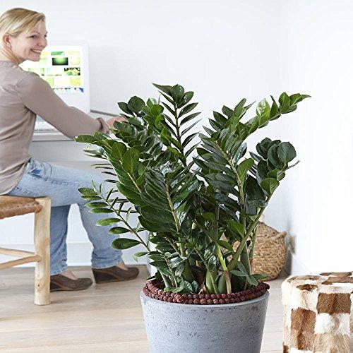 ZAMIOCULCAS Plante d'intérieur - Plante pour la maison ou le bureau - hauteur environ 70 cm - surnommée « Plante ZZ »