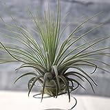 エアープランツ チランジア マグヌシアーナ Lサイズ【幅約13cm×高さ約10cm Lサイズ/1個】T.magnusiana 品種で選べるエアプランツ!初心者にも育てやすく リビングやオフィスのインテリアに!【造花ではありません。生きているエアープランツです。※商品の特性上 背丈 形 大きさ等 植物には個体差がありますが 同規格のものを送らせて頂いております。また 植物ですので多少の枯れ込みやキズ 折れ等がある場合もございます。予めご了承下さい】