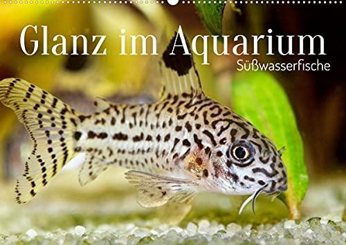 Glanz im Aquarium: Süßwasserfische (Wandkalender 2022 DIN A2 quer)