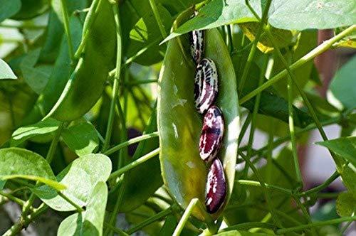 Christmas Pole Lima Bean Seeds (40 Seeds)