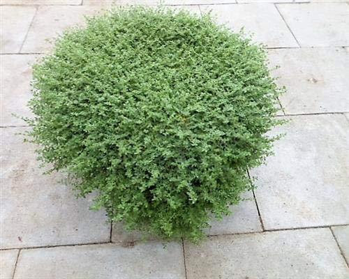 Herniaria glabra 25 Stück Kahles Bruchkraut Bodendecker Rasen-Ersatz T9x9 winterhart