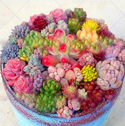Mixed Colored 200pcs/bag Rare Beauty Succulents Seeds Garden and Home Bonsai Easy to Grow Flower Plant Seeds