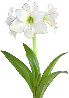White and Red Amaryllis Picotee - 30/32cm Bulb - Outstanding Indoor Blooms!
