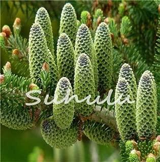 50 Pcs Abies Seeds,Korean Fir,Nordmann Fir (Christmas Tree, Conifer) Seeds Tree, House Garden Bonsai Plants and Flowers Seed