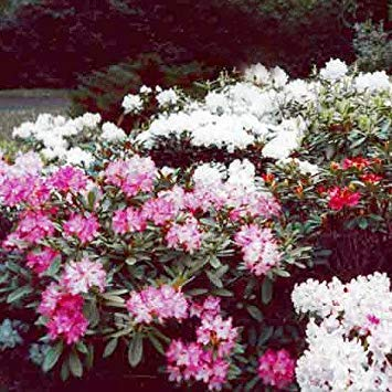 Samen-Paket: Seed Welt Seeds - Rhododendron Yakushimanum Hybrids Seeds