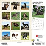 Australian Kelpies 2020 12 x 12 Inch Monthly Square Wall Calendar, Animal Dog Breeds (English, Spanish and French Edition) 10