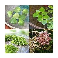 (水草)おまかせ浮き草 4種(無農薬)(各3株)