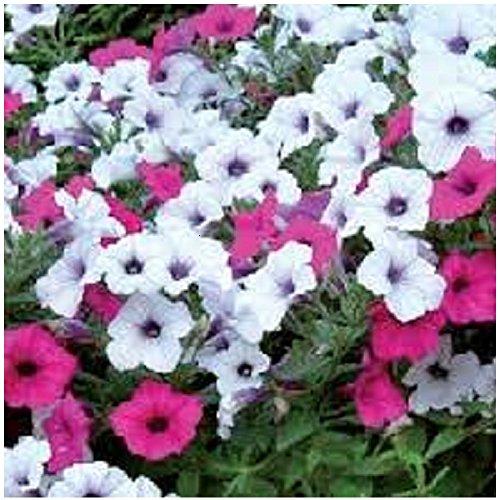 Lot de 10 graines Petunia à fleurs pendants F1 Tidal Wave Silver Cherry - annuelle