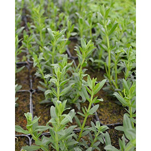 Kräuterpflanze - Ysop Blues/Hyssopus officinalis - Lamiaceae - 1 Pflanze im Topf