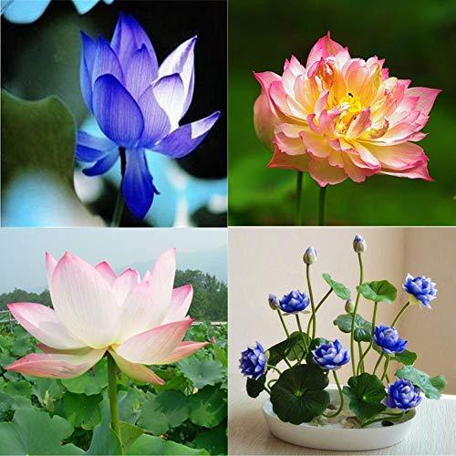 QHYDZ Samenhaus-Lotusblumen Samen 20 Pcs, Mehrfarbrig Sukkulenten Lotus/Nelumbo Saatgut Winterhart Mehrjährig Hydroponischen Wasser Blume Pflanze für Hausgarten Hof Bonsai Pflanzen Dekoration