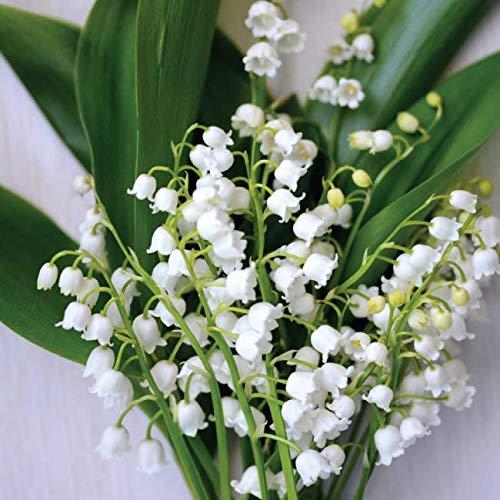 Maiglöckchen zwiebeln,Charmante starke Zwiebeln Wunderschöne Beetpflanzen Seltene Arten Mehrjährige Zwiebeln Wurzel-20zwiebeln