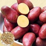 100 semillas de patata de piel roja nutritivas vegetales bonsai planta para jardín de patio