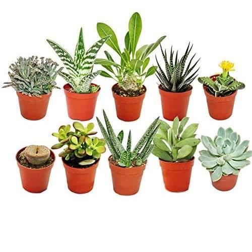 Pack de 10 Plantas Suculentas Diferentes en Macetas de 5cm Plantas Crasas Naturales