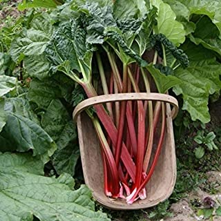 'Victoria' Rhubarb Seeds - Much milder and sweeter than other types. So GOOD!!!!(25 - Seeds)