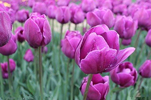 Parfum Tulip Graine de haute qualité fleur Bonsai graines, les plus belles et des plantes colorées Tulip vivaces jardin 100PCS 10