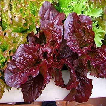 VISA STORE Rot Sad Schüssel Gemüsesamen (Sa) 200 + Seeds