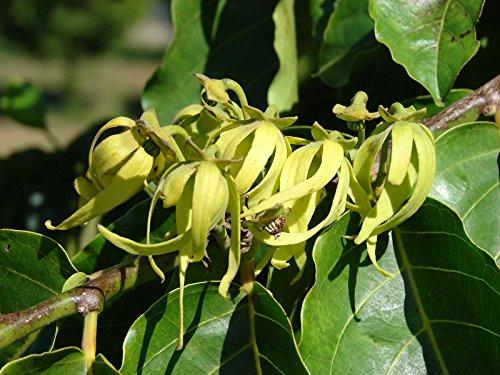 Cananga odorata | Ylang Ylang | 10_Seeds