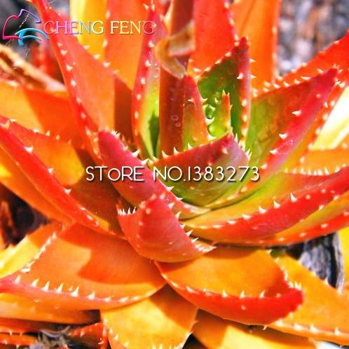 2016 20pcs Haute Qualité Graines Aloe Herbes rares Graines vert Bonsai Plante Arbre Cactus Jardin Pot Seeds 49% de réduction sur la vente *